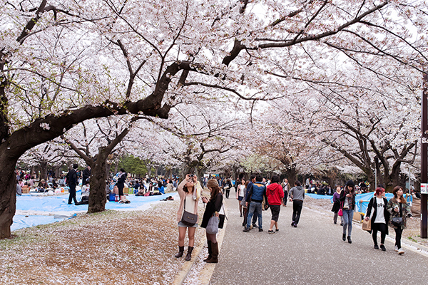 Những địa điểm ngắm hoa anh đào đẹp nhất Tokyo
